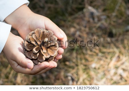 Hand holding pine cone Stock photo © bdspn