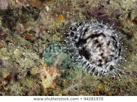 Tiger cowrie (Cypraea tigris) seashell Stock photo © boggy