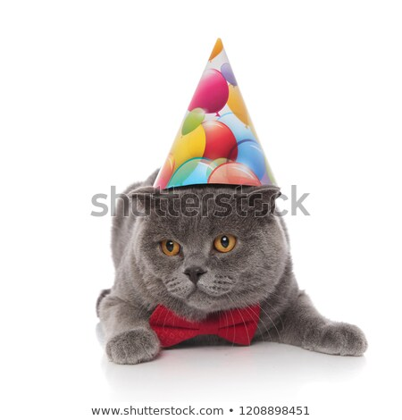 elegant scotish fold with birthday hat looks down to side Stock photo © feedough