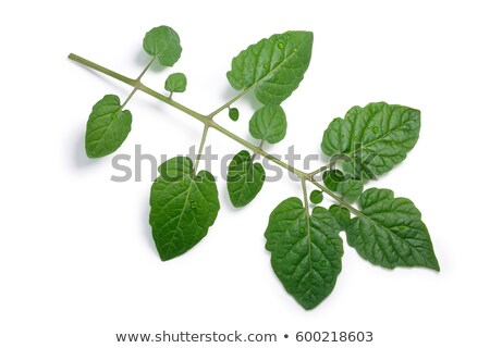 Tomato compound leaf, paths, top view Stock photo © maxsol7
