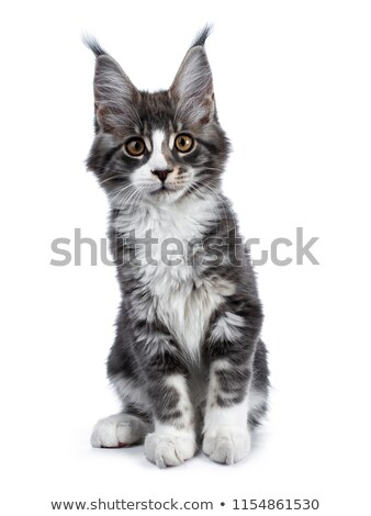 Super cute blue tabby with white Maine Coon cat kitten sitting Stock photo © CatchyImages