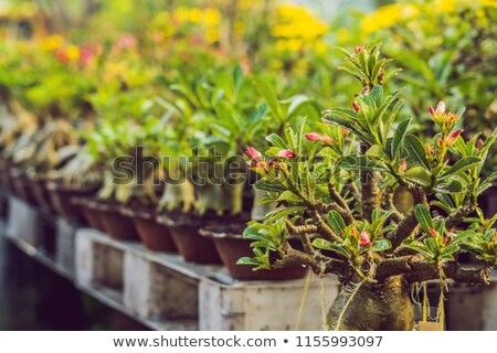 bonsai in honor of the Vietnamese new year. Lunar new year flower market. Chinese New Year. Tet Stock photo © galitskaya