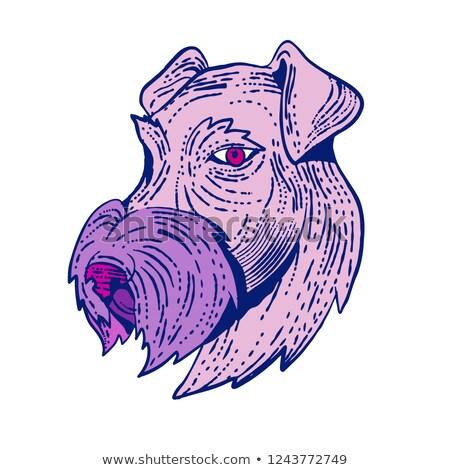 Bingley Terrier Head Etching Color Stock photo © patrimonio