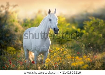 White horse желтый цветок области женщину лошади пейзаж Сток-фото © Lopolo