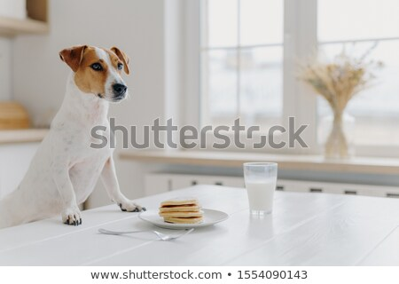 Indoor shot of pedigree dog poses at white desk, wants to eat pancake and drink glass of milk, poses Stock photo © vkstudio