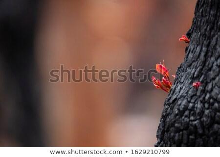 дерево Буш огня синий гор Сток-фото © lovleah