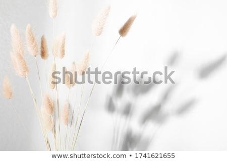 Flowering reed Stock photo © vrvalerian