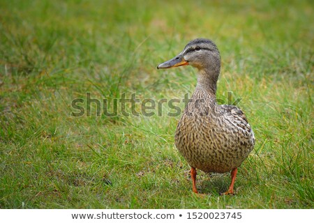 A colourful female mallard duck swimming on a lake. Stock photo © latent