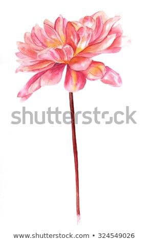 watercolour dahlia simple stock photo © galyna