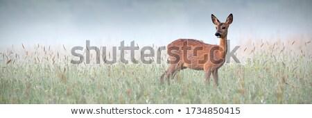 Deer in Meadow Stock photo © cboswell