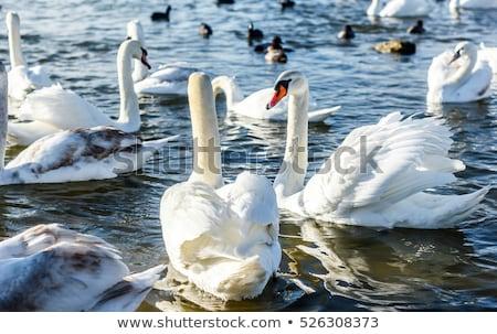 Single Winter Swan Stock photo © Gordo25