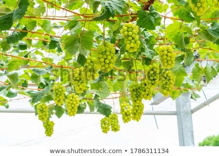 grape field stock photo © nobilior