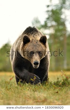 Бурый медведь воды лице рот черный сердиться Сток-фото © lightpoet