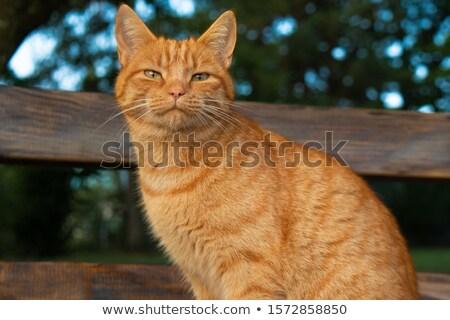 Turuncu kedi gözler kediler izlemek erkek Stok fotoğraf © ca2hill