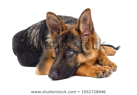 Portrait of sad shepherd dog stock photo © Discovod