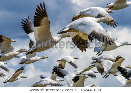 Many Snow Geese Close Up Flying From Mountain Stock photo © billperry