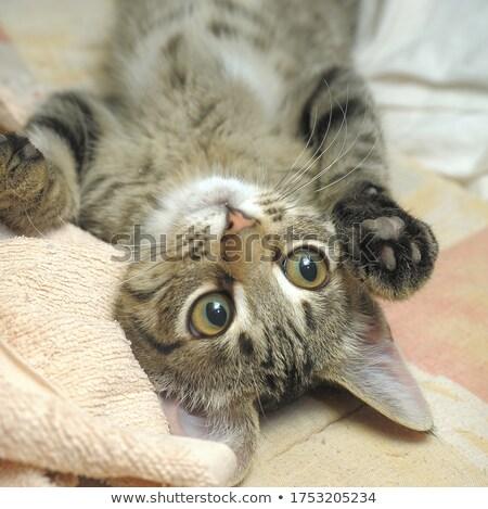 Kahverengi çizgili kedi yavrusu fotoğraf yalıtılmış beyaz Stok fotoğraf © ajn