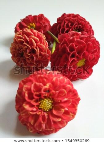 Roze bloem tuin mooie bloemblaadjes Stockfoto © stocker