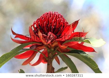 waratah telopea growing in natural habitat stock photo © lovleah