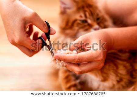 Мэн кошки ветеринар портрет белый Сток-фото © cynoclub