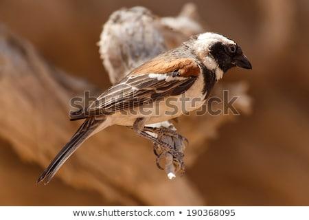 erkek · kuş · Namibya · çöl · Afrika · hayvan - stok fotoğraf © imagex