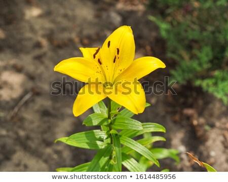 黄色 ブラウン 黄色の花 紫色 庭園 美 ストックフォト © bradleyvdw