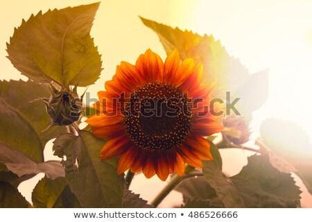 beautiful sunflower close up retro style toned photo stock photo © lizard