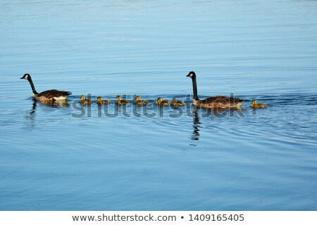 young geese swimming on lake Stock photo © Mikko