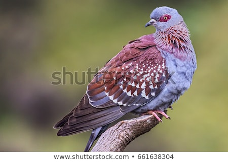 piccione · erba · verde · amore · uccello · ritratto · animali - foto d'archivio © dirkr