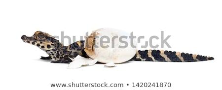 Huevo cocodrilo pequeño manos ojo Foto stock © OleksandrO