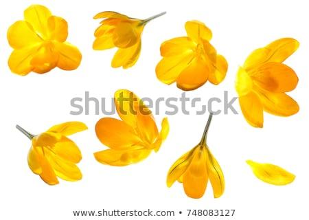 Amarelo açafrão flores bom primavera flor Foto stock © jonnysek