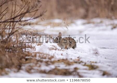 кролик пути сидят глядя природы Bunny Сток-фото © brm1949