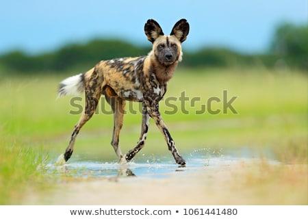 Perro negro rottweiler bulldog alerta Foto stock © HunterX