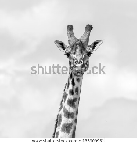 giraffe walking in the bush in black and white stock photo © simoneeman