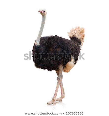 Avestruz em pé branco ilustração fundo arte Foto stock © bluering