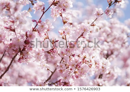 Virágzó cseresznye fa festett rózsaszín fehér Stock fotó © blackmoon979