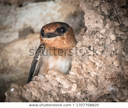 cliff swallows stock photo © hamik