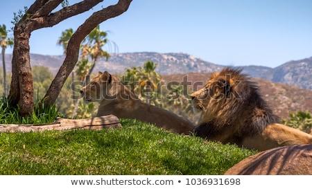 oroszlán · pár · fektet · fű · park · utazás - stock fotó © simoneeman