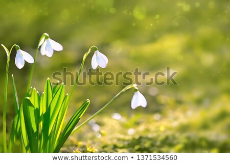 19 April Day of Snowdrop Stock photo © Olena