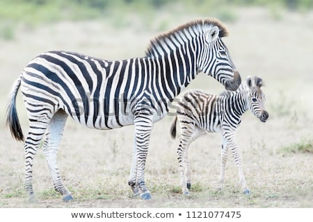 Stock photo: Mother and foal zebra, Equus quagga.