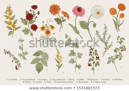 Vintage botânico ilustração gravado flor velho Foto stock © kostins