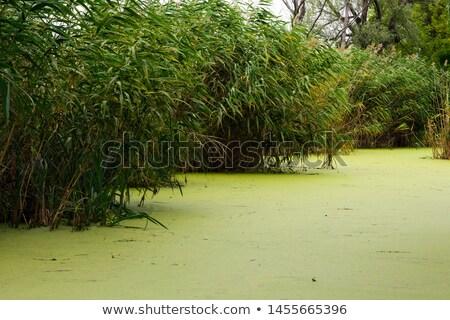 Barro estanque jardín ilustración agua peces Foto stock © bluering