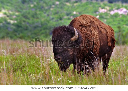 Mascot Bison Native American Indian Stock photo © lenm