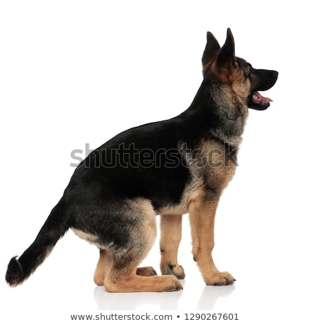 back view of excited german shepard looking up to side Stock photo © feedough