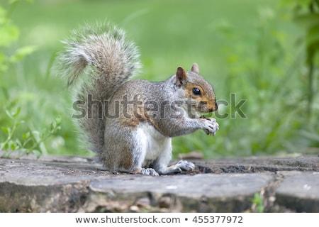 Gris écureuil queue herbe fond couleur Photo stock © taviphoto
