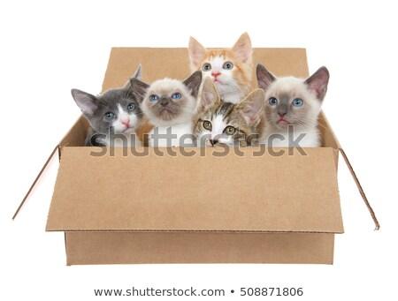 Stockfoto: Siamese Kitten In Box On White Background