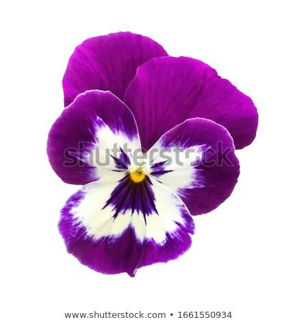 Violet bloemen witte groep houten ondiep Stockfoto © AGfoto