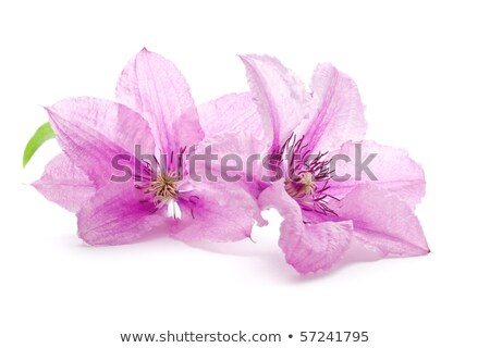 Lilac / pink Clematis flower on white stock photo © CatchyImages