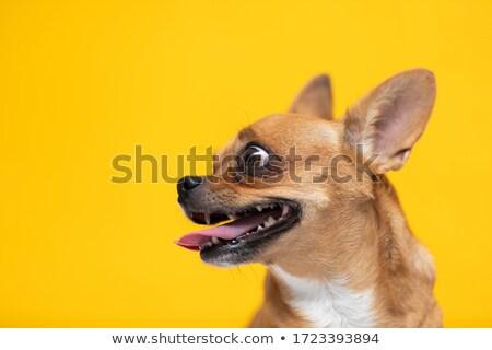 Portré imádnivaló stúdiófelvétel izolált fehér kutya Stock fotó © vauvau
