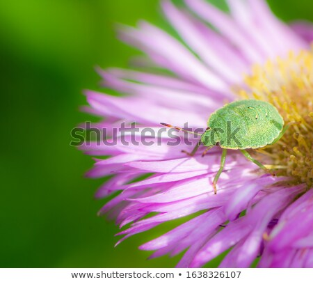 Green shield bug on a pink aster flower Stock photo © manfredxy